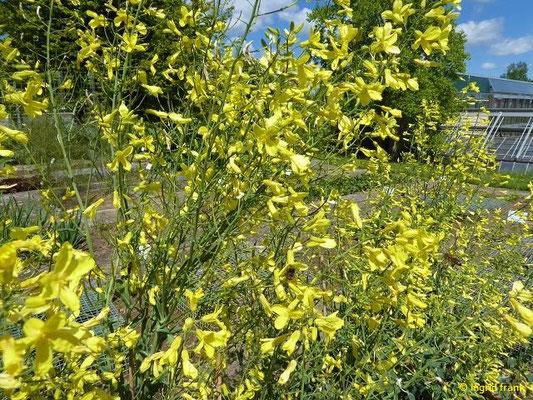 Brassica oleraceae ssp. capitata var. sabauda - Wirsing