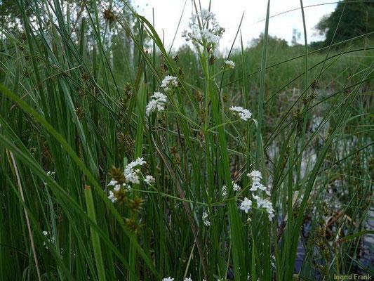 Galium palustre - Sumpf-Labkraut