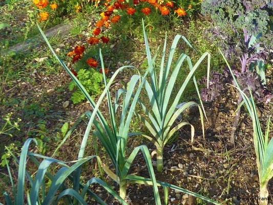 Allium porrum - Porree, Gemüse-Lauch