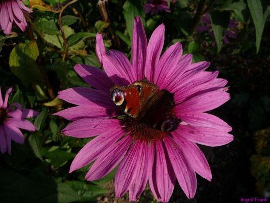 Echinacea purpurea - Sonnenhut (Klostergarten)