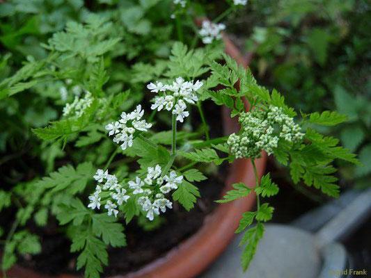 Anthriscus cerefolium / Garten-Kerbel