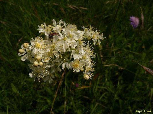 Filipendula vulgaris - Kleines Mädesüß
