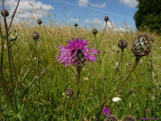Centaurea scabiosa / Skabiosen-Flockenblume