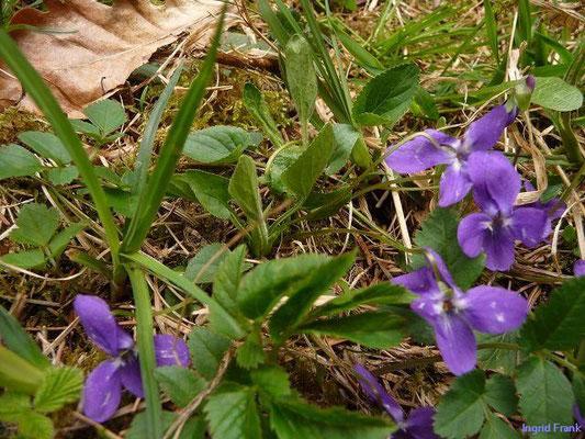 Viola hirta - Raues Veilchen