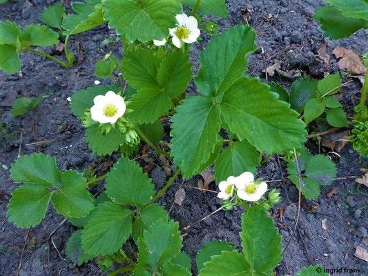 Fragaria x magna / Garten-Erdbeere    V-VI