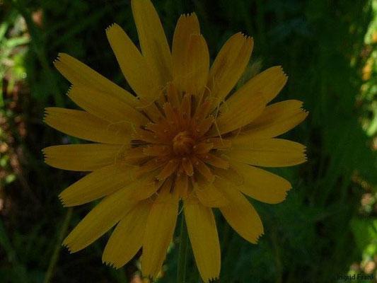 Tragopogon pratensis ssp. orientalis - Orientalischer Wiesen-Bocksbart