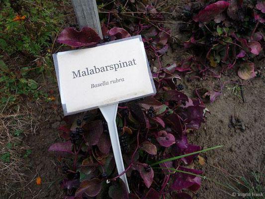 Basella rubra - Malabarspinat
