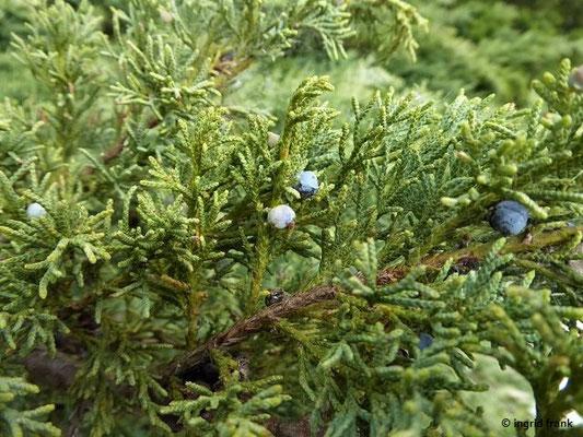 Juniperus excelsa - Hoher Wacholder