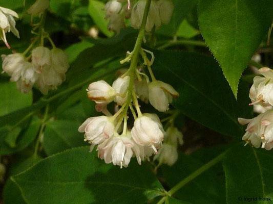 Staphylea pinnata - Gewöhnliche Pimpernuss