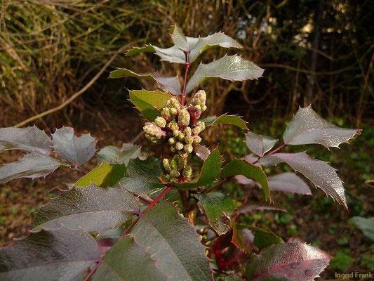 20.01.2012-Mahonia aquifolium - Mahonie