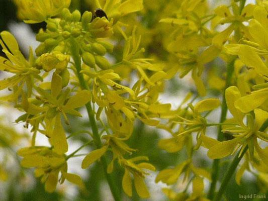 Isatis tinctoria / Färber-Waid (Hortulus pharmaceuticus Kressbronn)