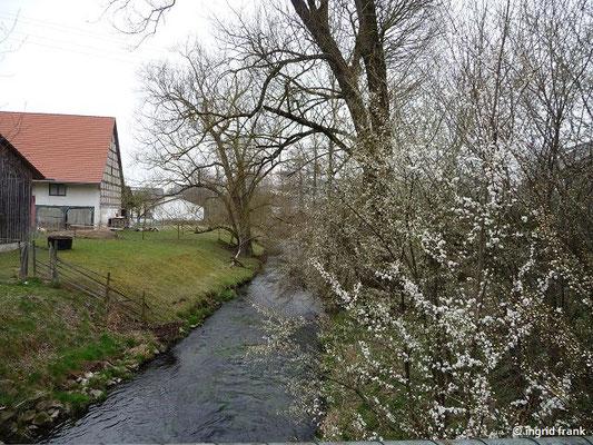 Schlehenblüte in Ummendorf