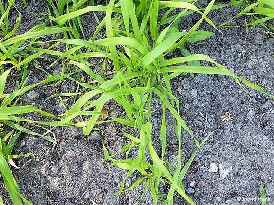 Hordeum vulgare - Sommer-Gerste