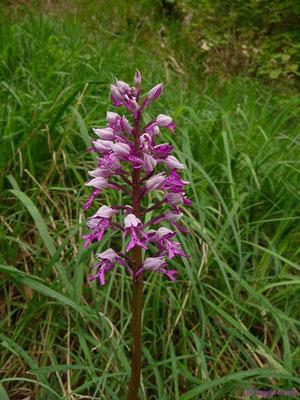 Orchis mascula / Helm-Knabenkraut