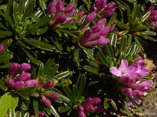 Daphne arbuscula - Bäumchen-Seidelbast    VI    (Heimat: Slowakien)