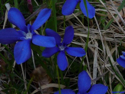 Gentiana verna - Frühlings-Enzian