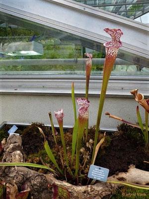 Sarracenia leucophylla - Schlauchpflanze  (Heimat: SO-USA; Botanischer Garten der Universität Basel)