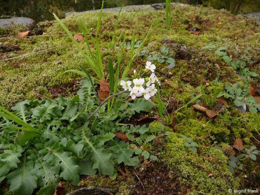 Arabidopsis arenosa ssp. arenosa / Gewöhnliche Sand-Schaumkresse