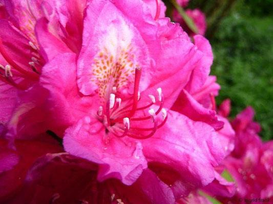 Rhododendron (im eigenen Garten)