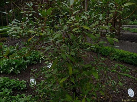Laurus nobilis / Edel-Lorbeer (Apothekergarten Leipzig) (Neophyt)