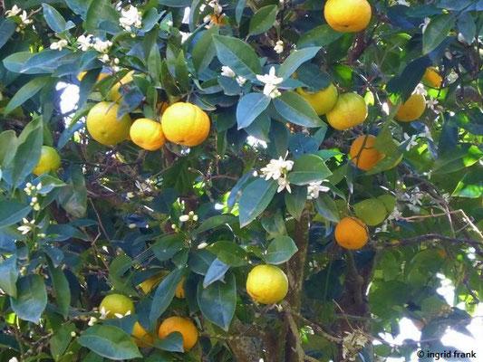 Citrus sinensis - Apfelsine