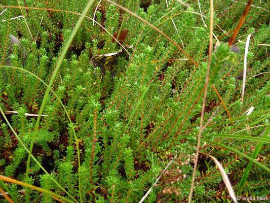 Empetrum nigrum - Gewöhnliche Krähenbeere (Insel Borkum)
