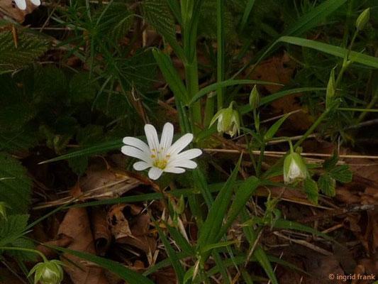 Stellaria holostea - Echte Sternmiere (LIndenberg)