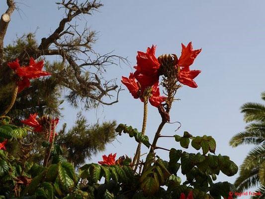 Spathodea campanulata - Afrikanischer Tulpenbaum (Heimat: Tropisches Afrika)