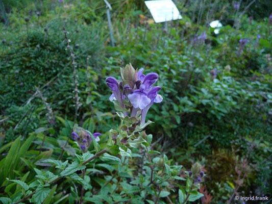 Scutellaria alpina - Alpen-Helmkraut    VI-VIII  (Botanischer Garten Berlin)