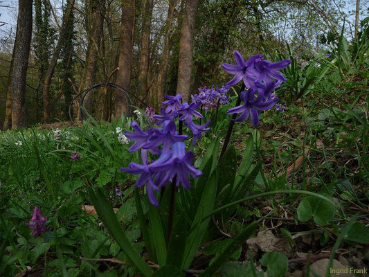 Hyacinthus orienetalis - Garten-Hyazinthe