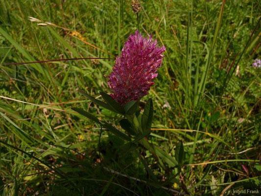 Trifolium rubens - Purpur-Klee, Fuchsschwanz-Klee