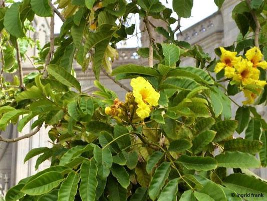 Tecoma stans - Gelber Trompetenbaum (Heimat: Mexiko bis Peru)