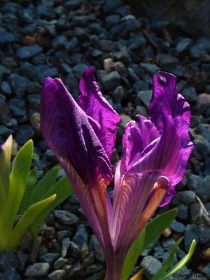 Iris pumila - Zwerg-Schwertlilie    IV-V