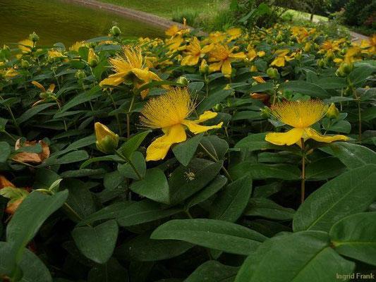 Hypericum polyphyllum - Griechisches Johanniskraut