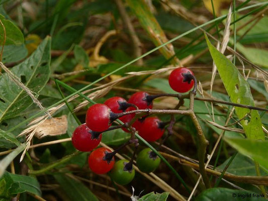 GIFTIG:  Bittersüßer Nachtschatten / Solanum dulcamara   (30.08.2011)
