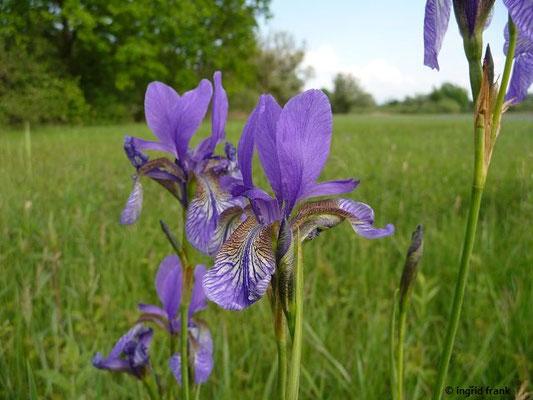 Iris sibirica / Sibirische Schwertlilie