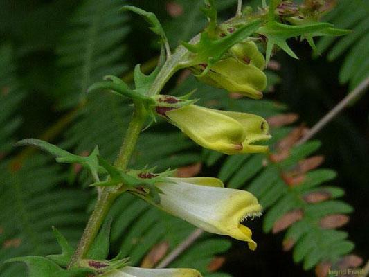 Melampyrum pratense - Gewöhnlicher Wachtelweizen, Wiesen-Wachtelweizen    V-VIII