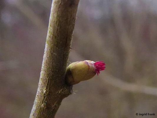 Corylus avellana - Gewöhnliches Hasel
