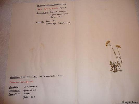 Achillea erba-rotta ssp. moschata / Moschus-Schafgarbe