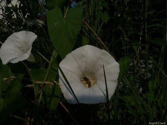30.06.2010-Calystegia sepium - Echte Zaunwinde