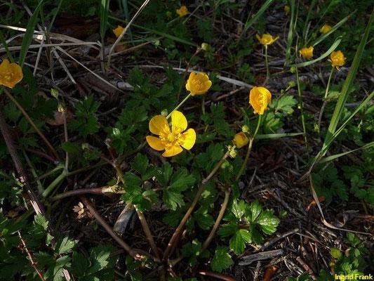 29.04.2011-Ranunculus repens - Kriechender Hahnenfuß