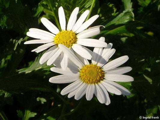 Argyranthemum broussonetii - Kanarenmargerite
