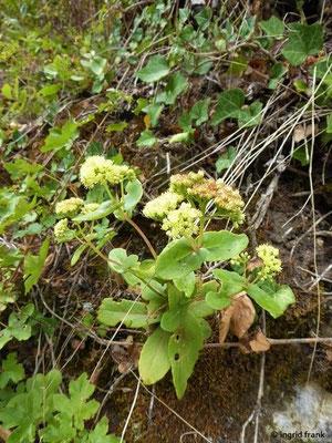 Hylotetephium maximum / Große Waldfetthenne