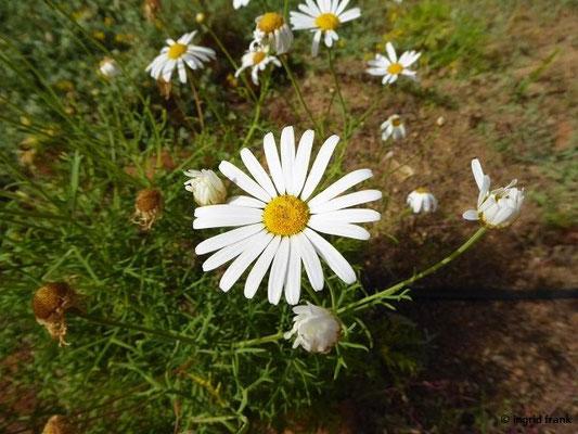 Argyranthemum frutescens - Strauchige Kanarenmargarite