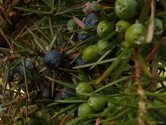 Juniperus communis - Gewöhnlicher Wacholder    IV-VIII