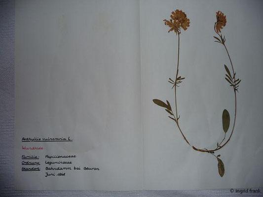 (37) Anthyllis vulneraria - Wundklee