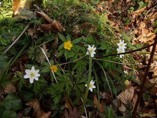 25.03.2012-Anemone ranunculoides u. nemorosa / Gelbes Windröschen und Busch-Windröschen