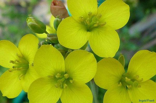 Diplotaxis tenuifolia - Schmalblättriger Doppelsame