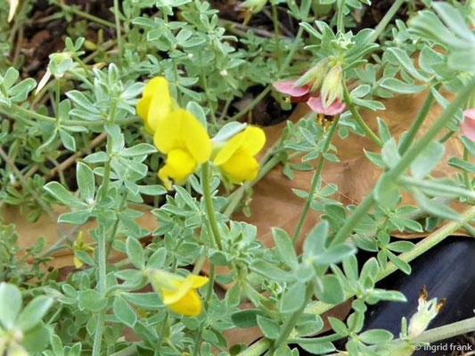 Lotus tenellus - Blaugrüner Hornklee