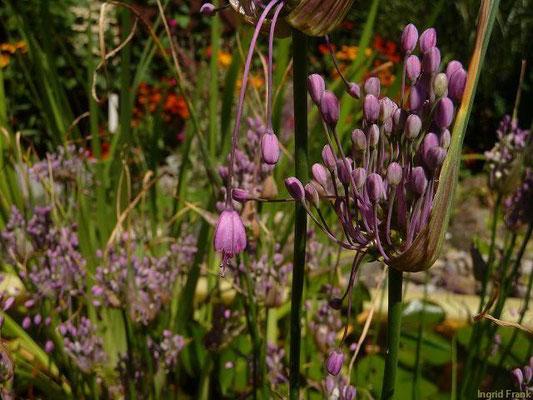 18.07.2012-Allium carinatum - Gekielter Lauch (Garten in Weingarten)